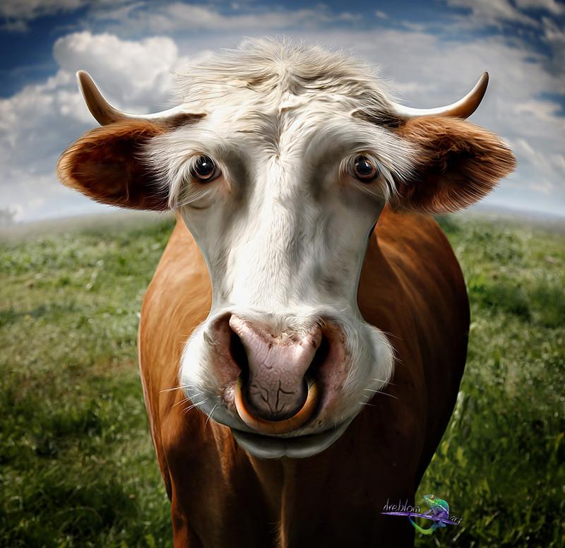 Новогодние, прикольные коровы картинки