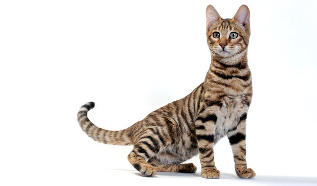 Bengal cat growth chart