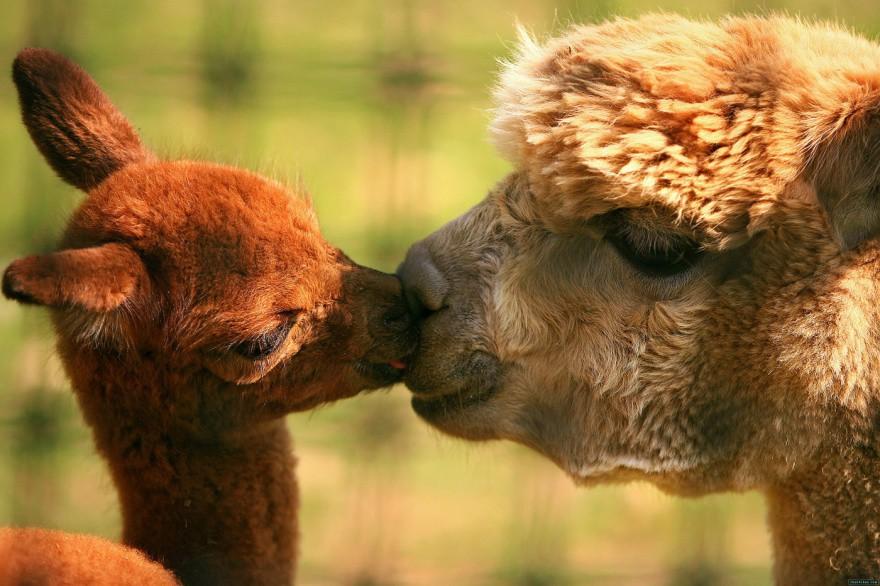 смешные картинки целующихся животных