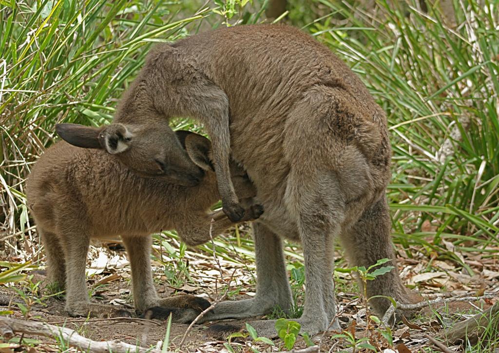 то, картинка с кенгуру с малышом и мамой это
