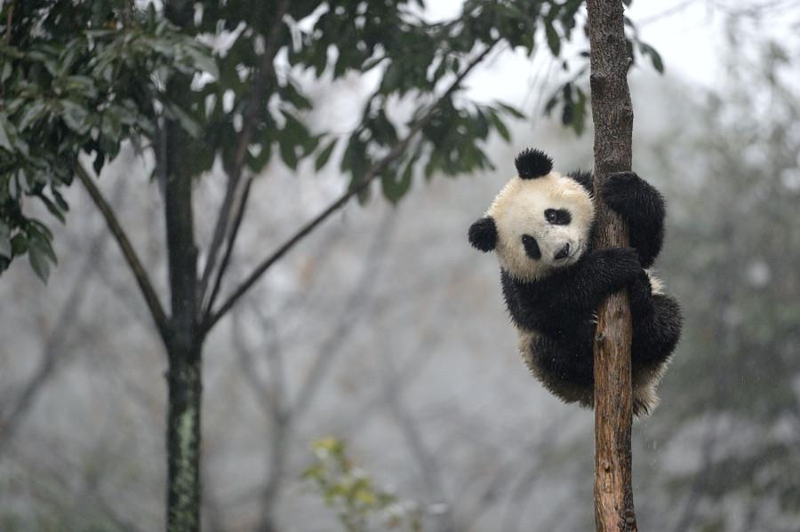 Панда смешные картинки, картинки