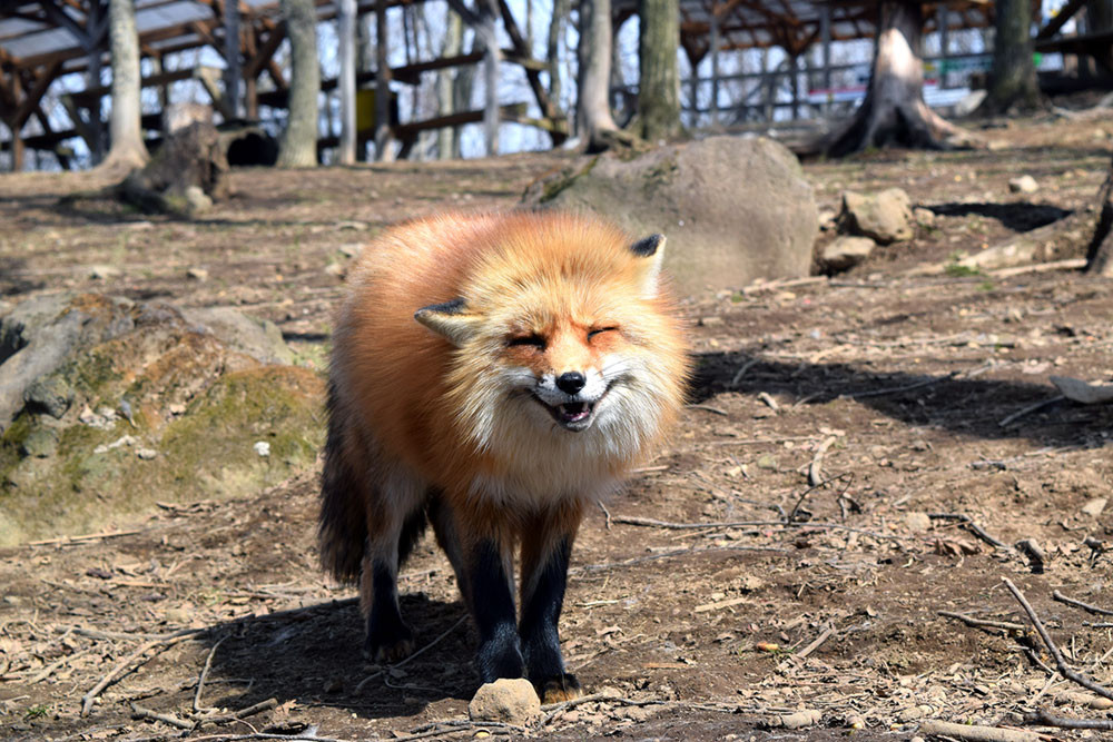 Фото толстого лиса