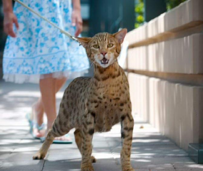 8. Кошка Ашера