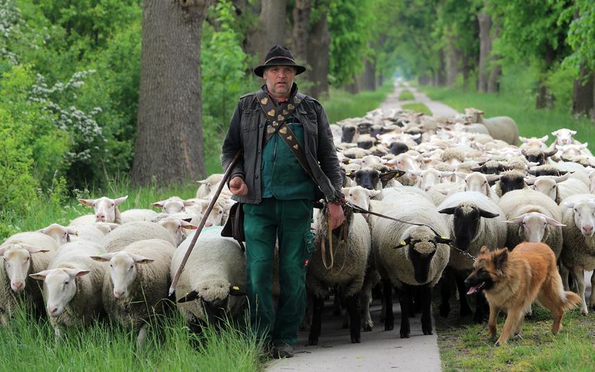 моя ней пастух и овцы картинки коли