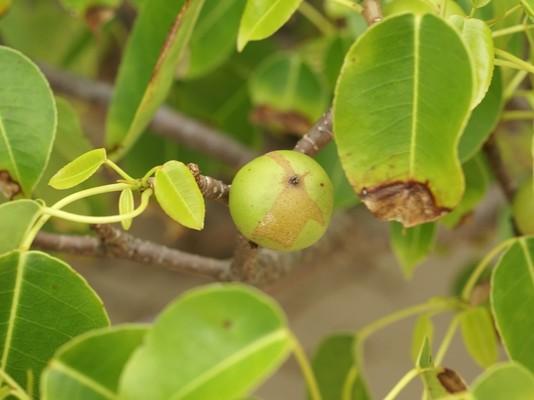 Манцинелловое дерево. растения, факты, фотография, яды