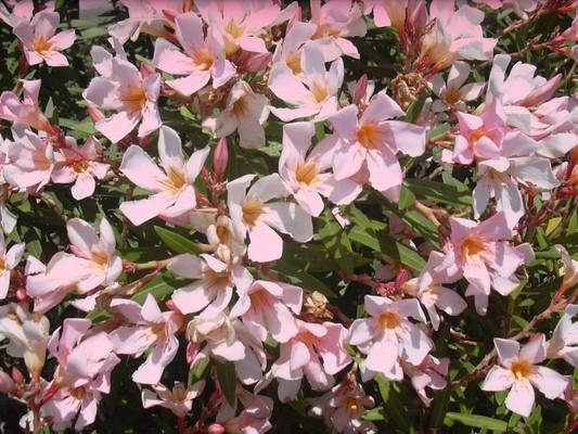 Олеандр обыкновенный. растения, факты, фотография, яды