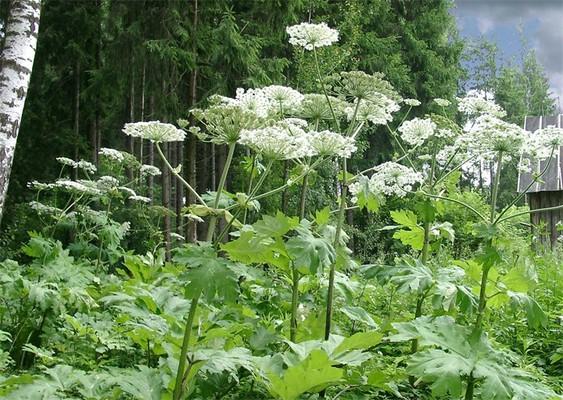 Борщевик Сосновского и борщевик Мантегацци. растения, факты, фотография, яды