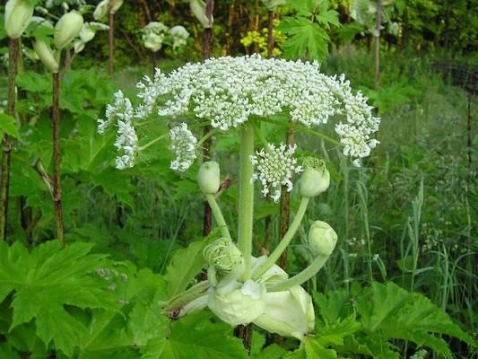 Вех ядовитый, или цикута (с латыни). растения, факты, фотография, яды