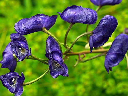 Аконит джунгарский. растения, факты, фотография, яды