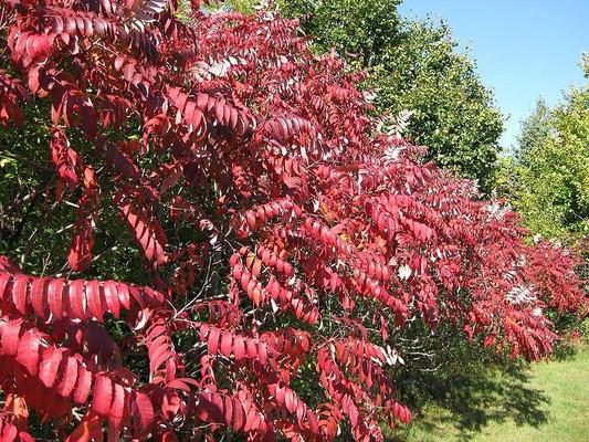 Сумах ядоносный (лаковое дерево). растения, факты, фотография, яды