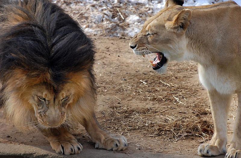 него было, картинка лев кусает за хвост читать все
