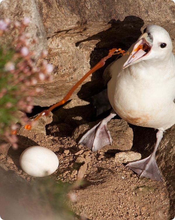 """1. Испуганные птенцы глупышей """"извергают"""" на хищника зловонную струю оранжевого цвета. мир, природа, факт"""