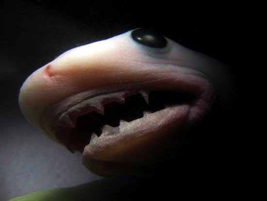 13. Эмбрионы тигровой акулы борются друг с другом в чреве матери, так что сильнейший съедает остальных и в итоге рождается мир, природа, факт