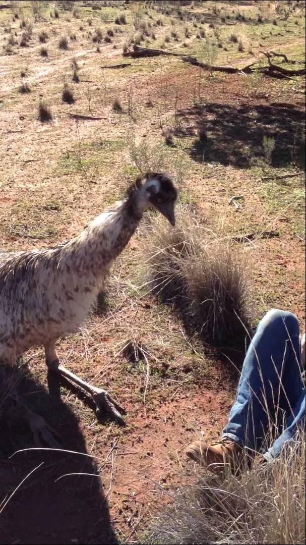 Страус ебется с страусом