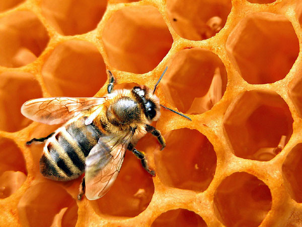 Как получается мед у пчел детям