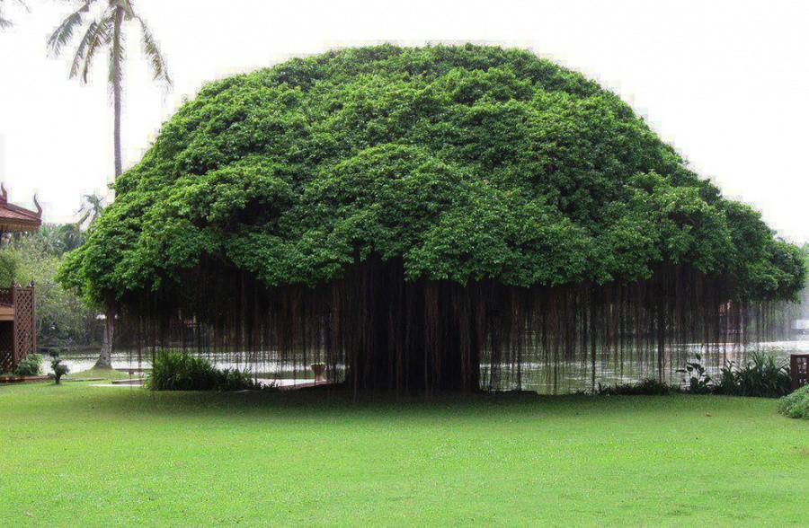 откуда на железных островах дерево обсасывая вылизывая