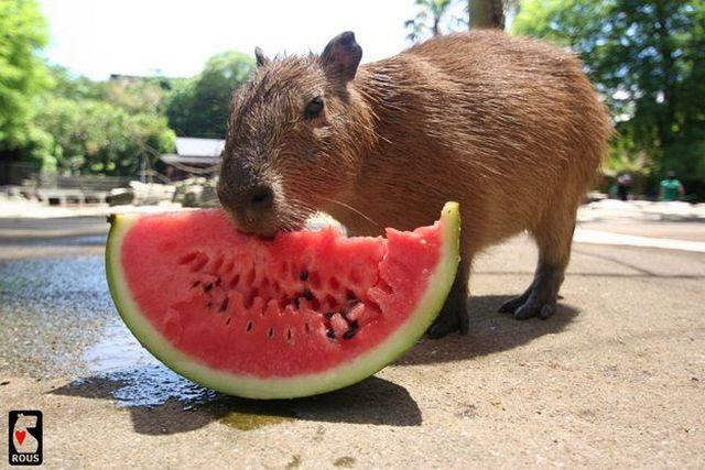 сборки каркаса можно ли давать арбуз морским свинкам что полезно