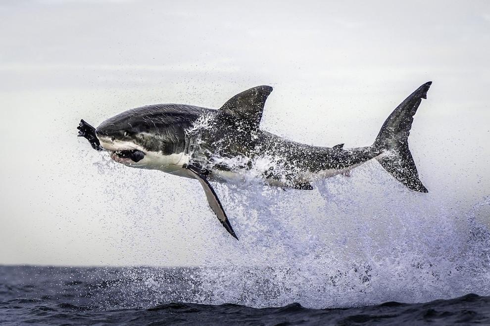 Большая белая акула кушает то ли морского котика, то ли тюленя кадр, мгновенье, фото