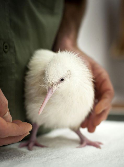 4. Киви альбинос, животное
