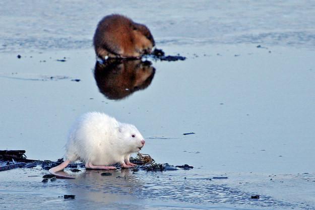 11. Ондатра альбинос, животное