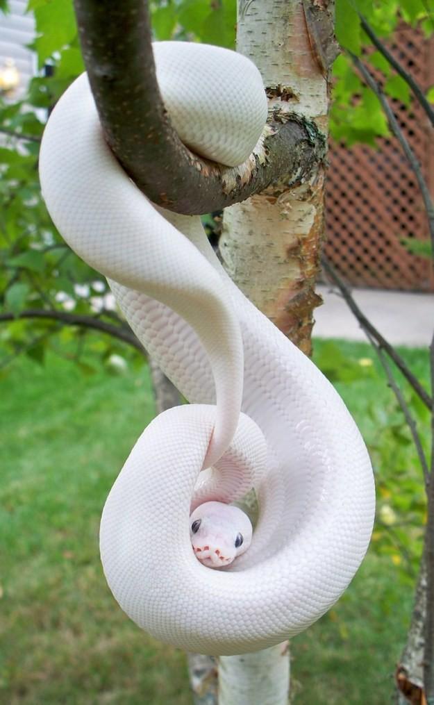 17. Змея альбинос, животное