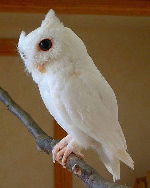 21. Сова альбинос, животное