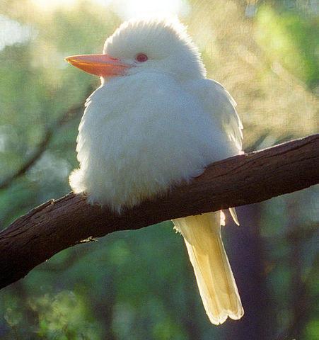 18. Кукабара альбинос, животное
