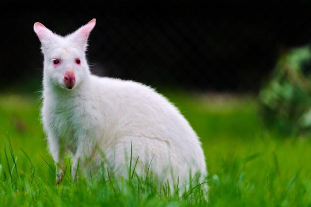 12. Валлаби альбинос, животное