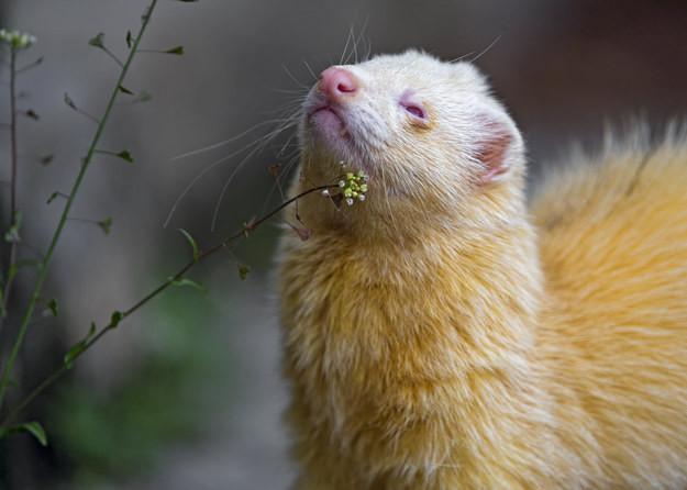6. Хорёк альбинос, животное
