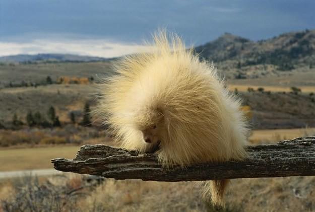 23. Дикобраз альбинос, животное