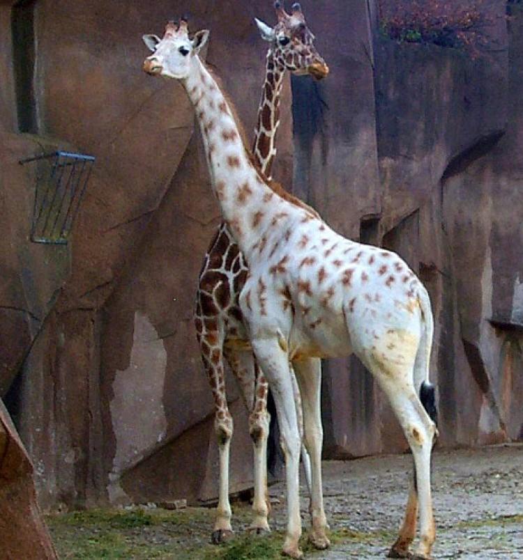 24. Жираф альбинос, животное