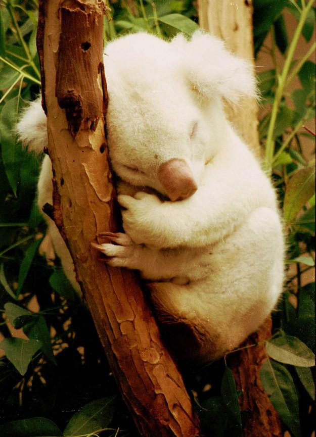 3. Коала альбинос, животное