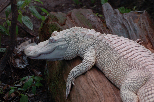 10. Аллигатор альбинос, животное