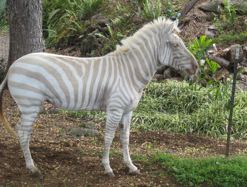 13. Зебра альбинос, животное