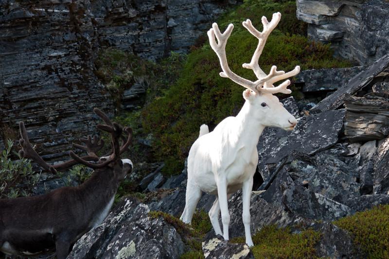 25. Северный олень альбинос, животное