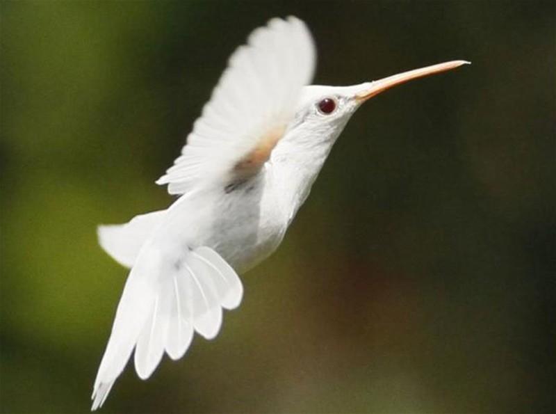 27. Колибри альбинос, животное