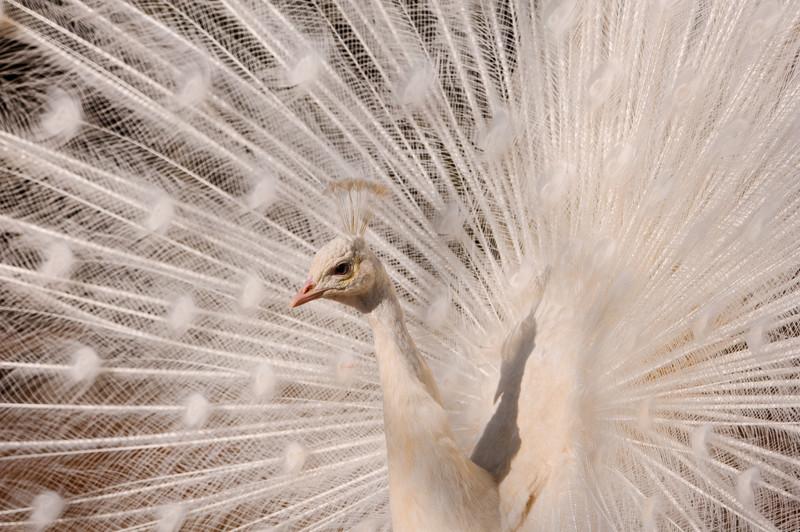7. Павлин альбинос, животное