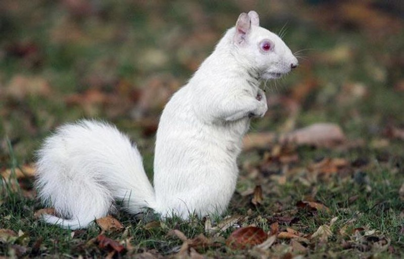 28. Белка альбинос, животное
