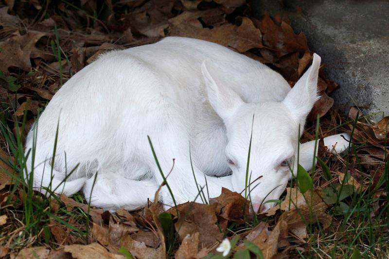 26. Олененок альбинос, животное