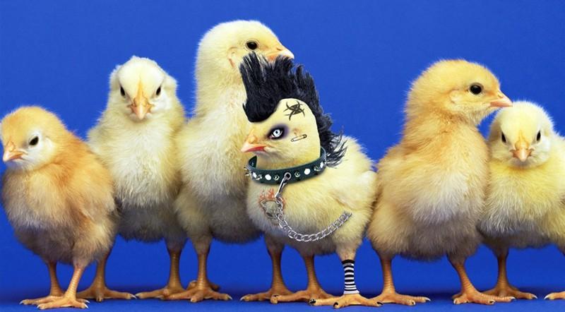 Прикольные картинки цыпленка, гарри