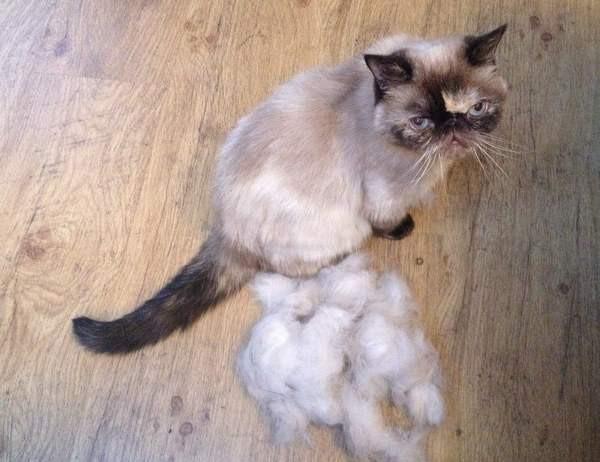 10. Шерсть кошки животные, кошка, совет