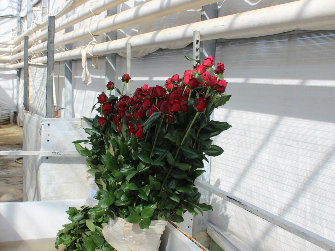 как растет роза фото выбор