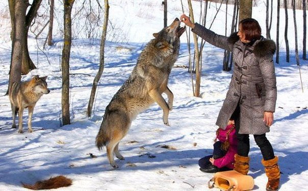 Стая тамбовских волков уничтожена в Липецкой области