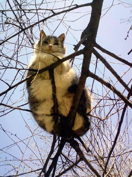 2. Кажется, сейчас веточка сломается... животные, коты, милота, огромные коты