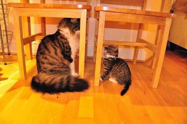 11. Встреча огромного кота с обычным животные, коты, милота, огромные коты