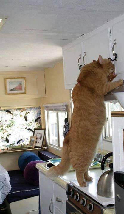 12. Где мой тунец? животные, коты, милота, огромные коты