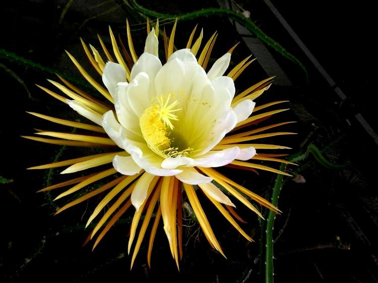 1. «Царица ночи» или селеницереус крупноцветковый (бесценен) рейтинги, факты, цветы