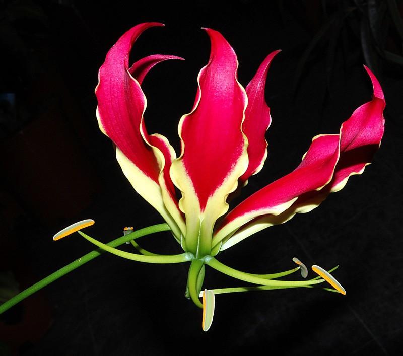 Глориоза (500-700 руб. за цветок) рейтинги, факты, цветы