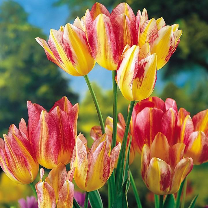 6. Тюльпан во времена тюльпаномании 17 века (10000 гульденов или 370000 руб. за луковицу) рейтинги, факты, цветы