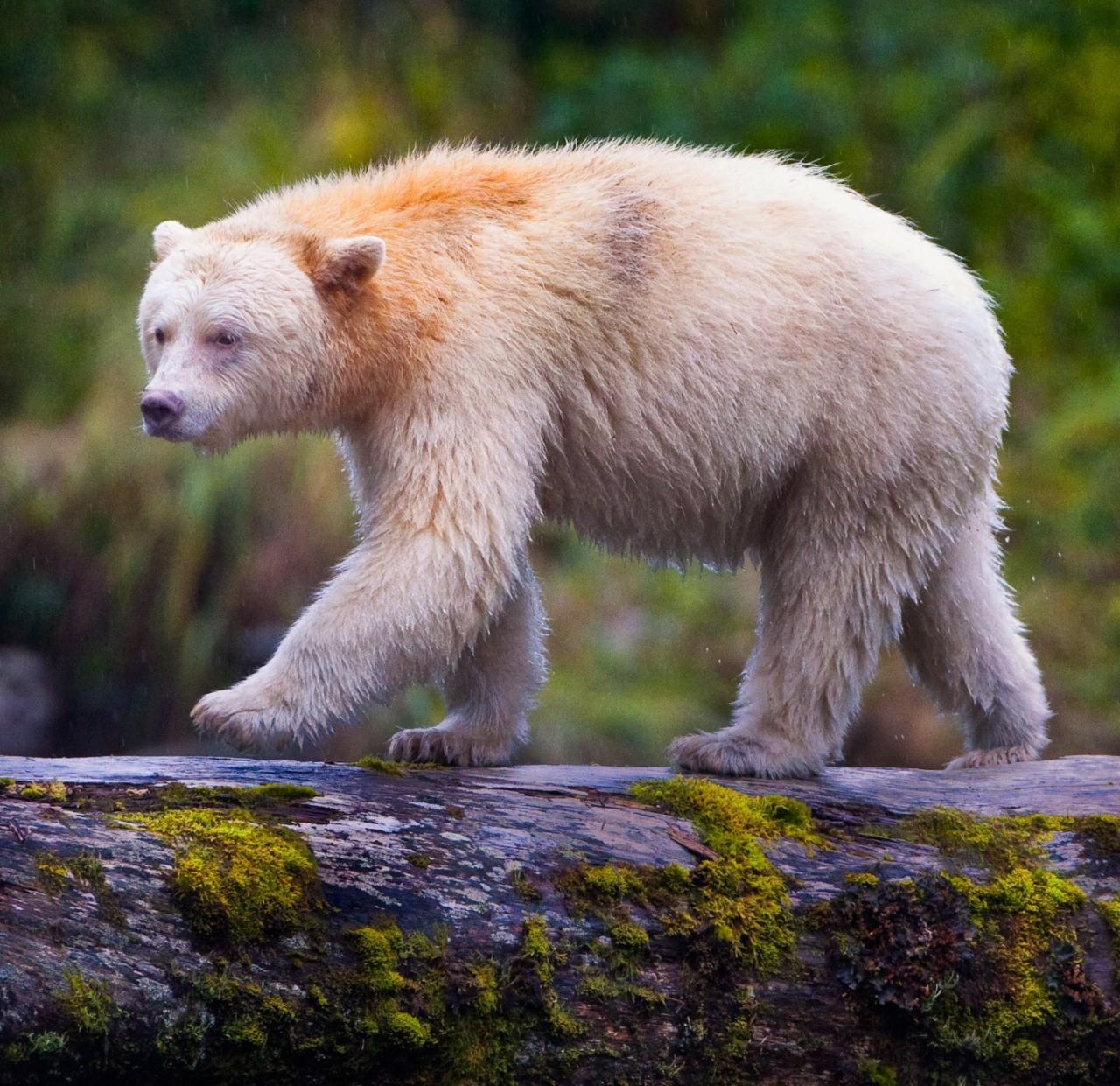 Секси группа белый медведь без цензуры